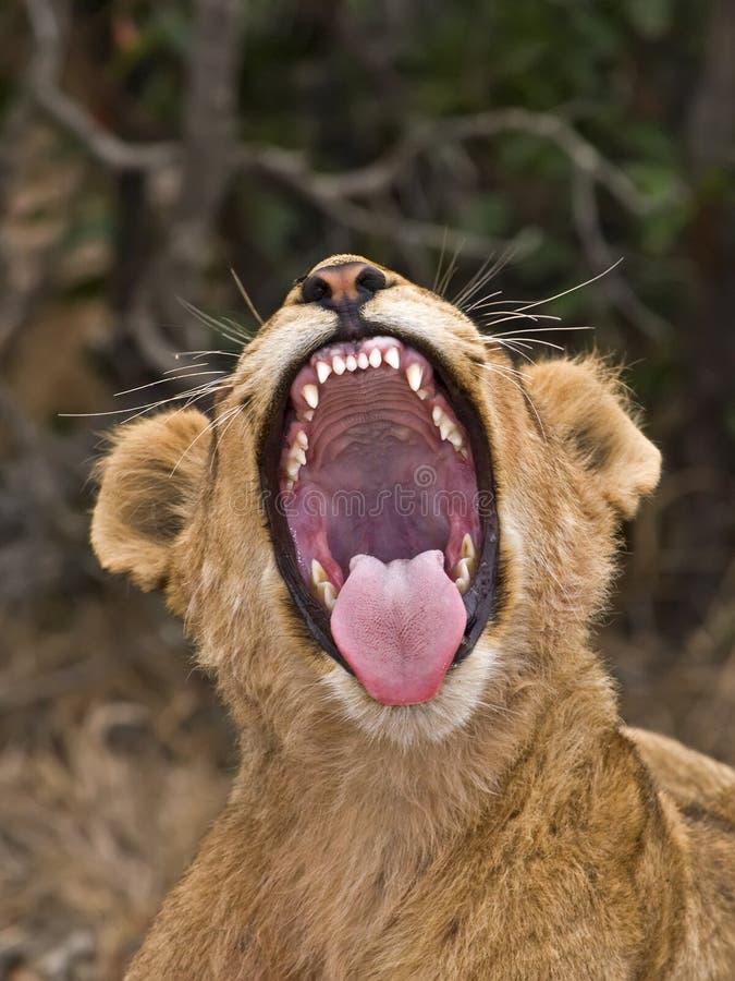 Зевок льва