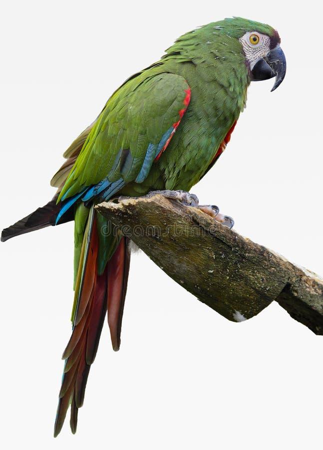 Зеленая ара сидит на уступе с белой предпосылкой стоковые фотографии rf