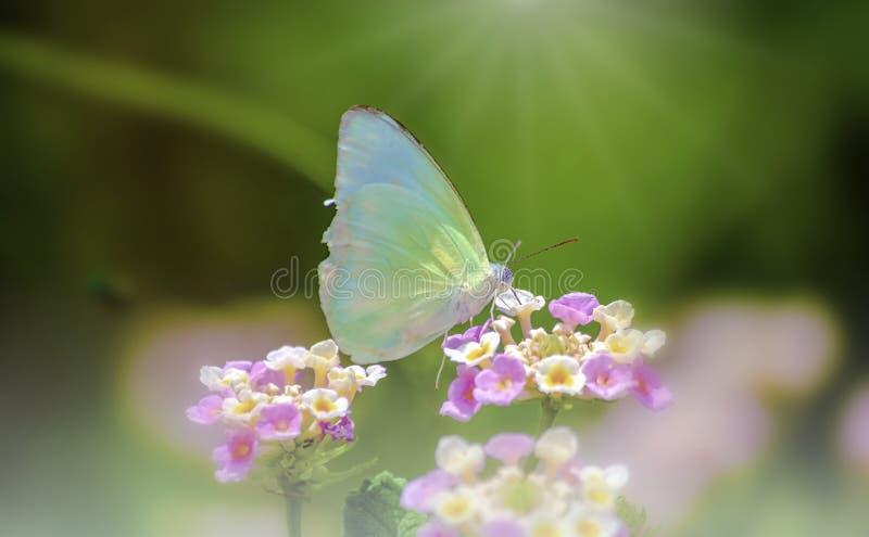 Зеленая бабочка на идеальных розовых цветках и свежем красочном предпосылки стоковые изображения