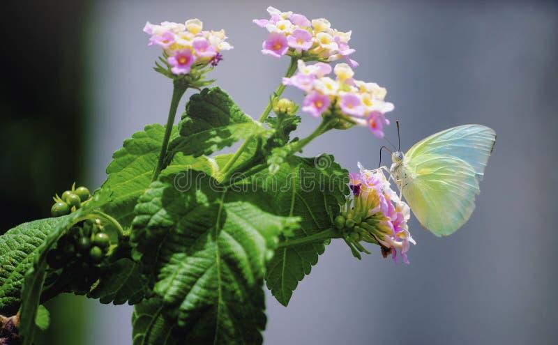 Зеленая бабочка на идеальных розовых цветках и свежем красочном предпосылки стоковая фотография