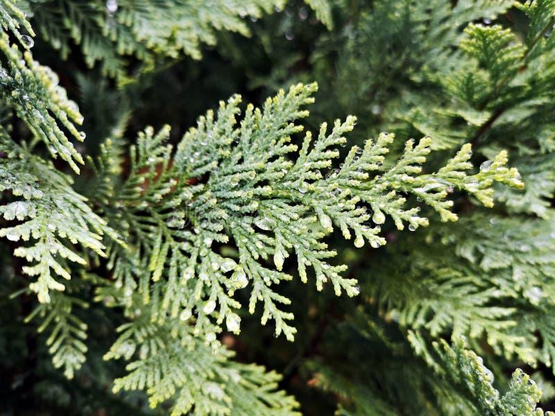 Зеленая ветвь дерева - Кипарис Лоусона , Фальс Кипарис , Джинджер сосна стоковые фото