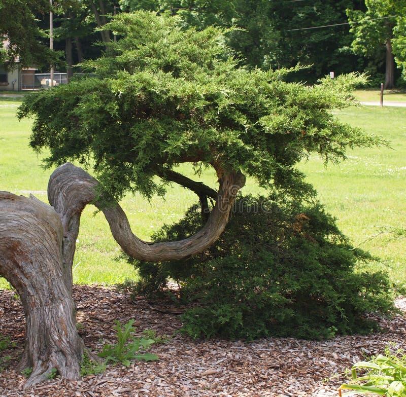 Зеленая ветвь дерева u в форме стоковая фотография rf