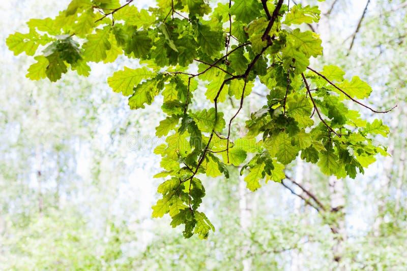 Зеленая ветвь дуба в лесе с запачканной предпосылкой стоковые фотографии rf