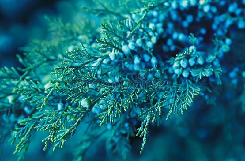 зеленая ветвь можжевельника с ягодами стоковое фото rf