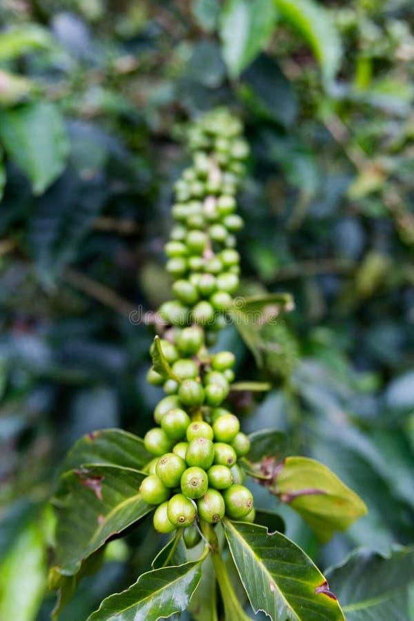 Зеленая вишня кофе стоковое изображение rf