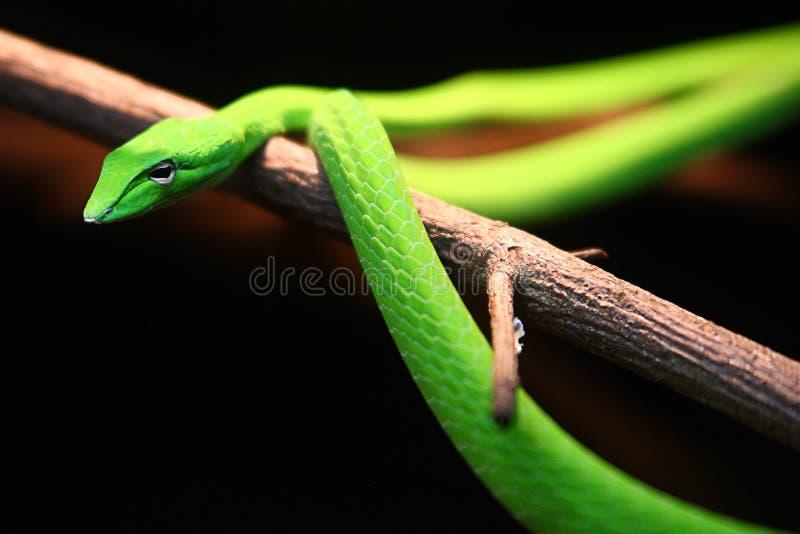 Зеленая востоковедная змейка хлыста на хворостине стоковое изображение