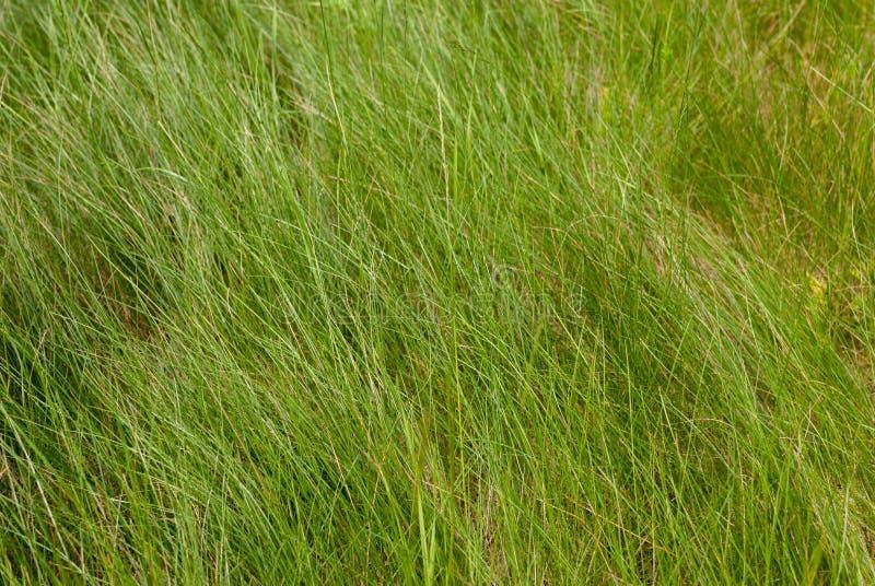 Зеленая высокорослая трава Текстура естественной предпосылки свежая весна зеленого цвета травы стоковые изображения