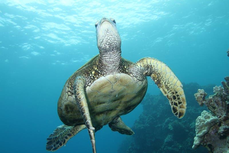 зеленая гаваиская черепаха моря стоковая фотография