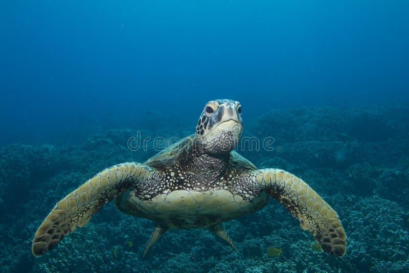 зеленая гаваиская черепаха моря стоковое изображение