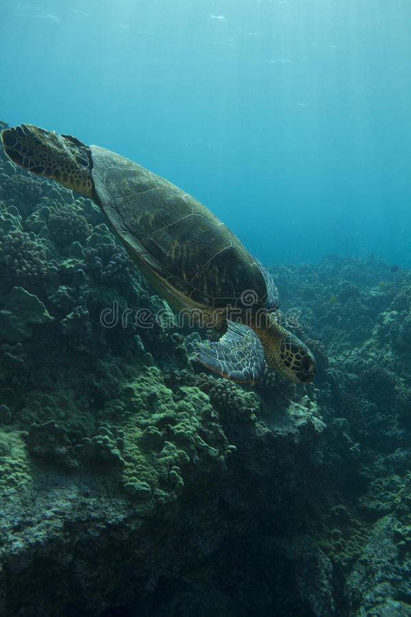 зеленая гаваиская черепаха моря стоковое изображение rf