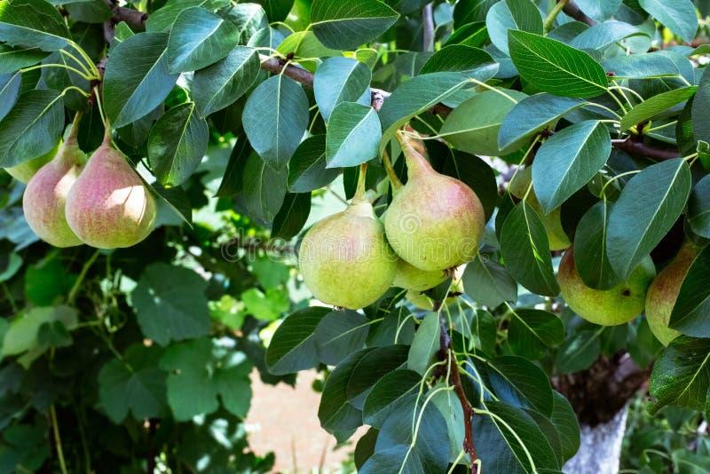 Зеленая груша на дереве стоковые изображения