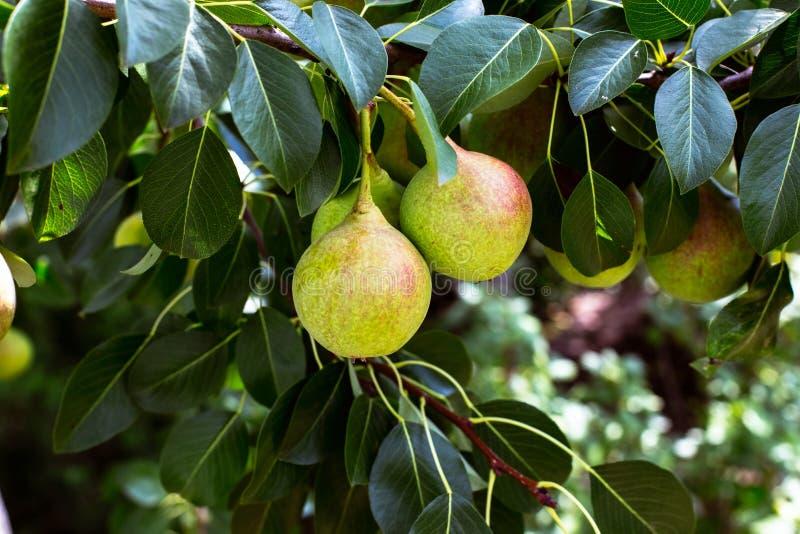 Зеленая груша на дереве стоковая фотография rf