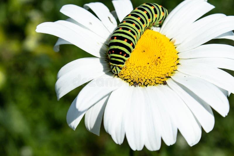Зеленая гусеница на белой маргаритке стоковая фотография rf