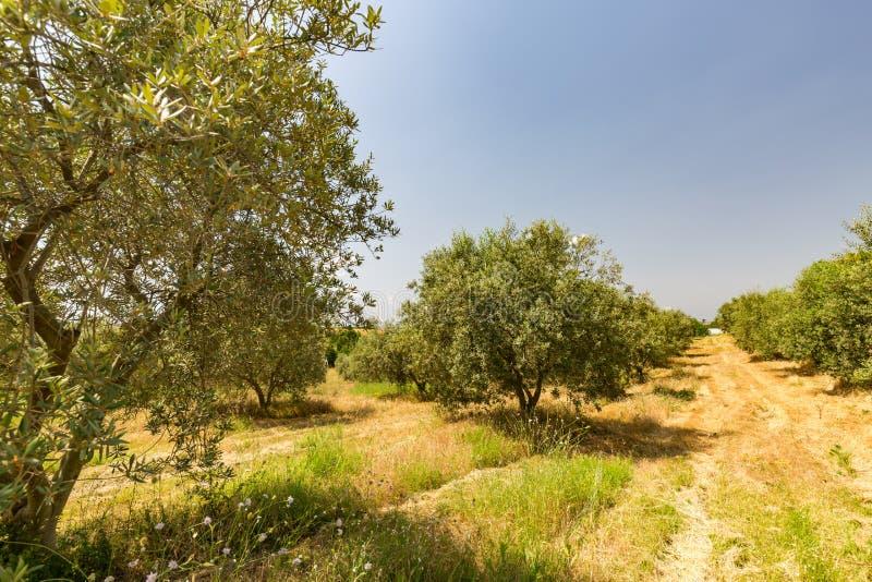 Зеленая деталь оливковой рощи, линии дерева стоковая фотография rf