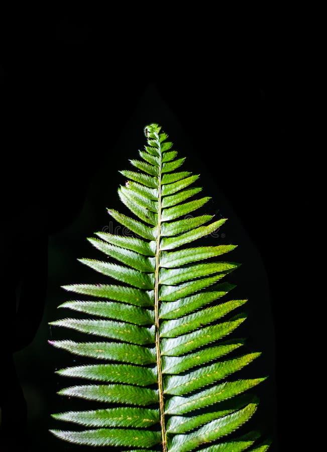 Зеленая деталь папоротника стоковое изображение rf