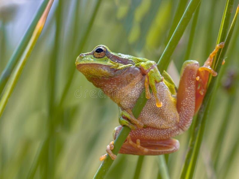 Зеленая древесная лягушка смотря вверх подготавливающ для перескакивания стоковые изображения rf