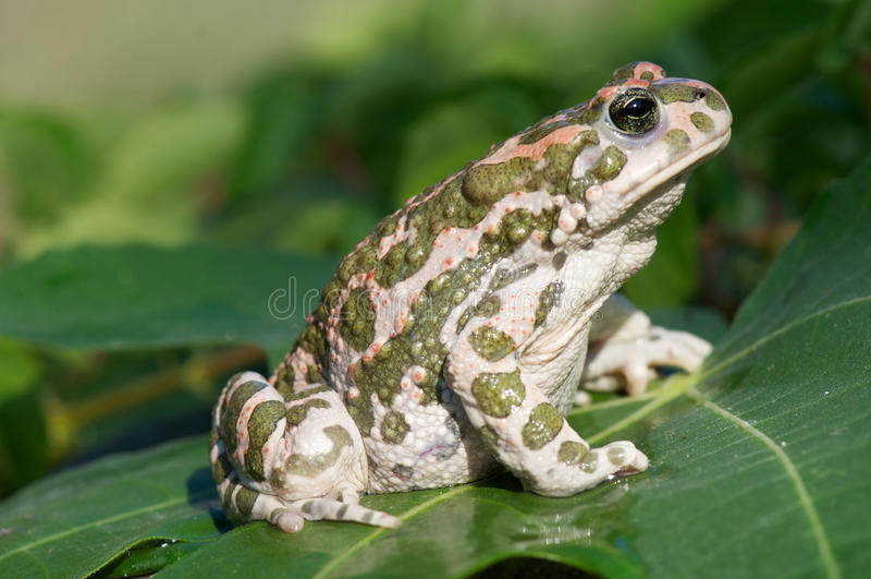 зеленая жаба стоковое фото rf