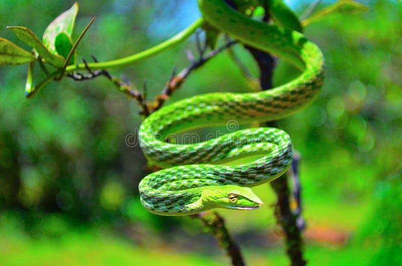 Зеленая змейка лозы, nasuta Ahaetulla, Dudhsagar, Goa стоковое изображение