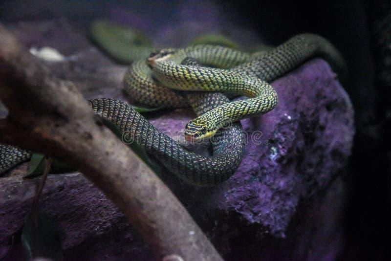 Зеленая змейка на ветви, конец вверх по бортовому портрету профиля красивого зеленого питона дерева стоковое изображение rf
