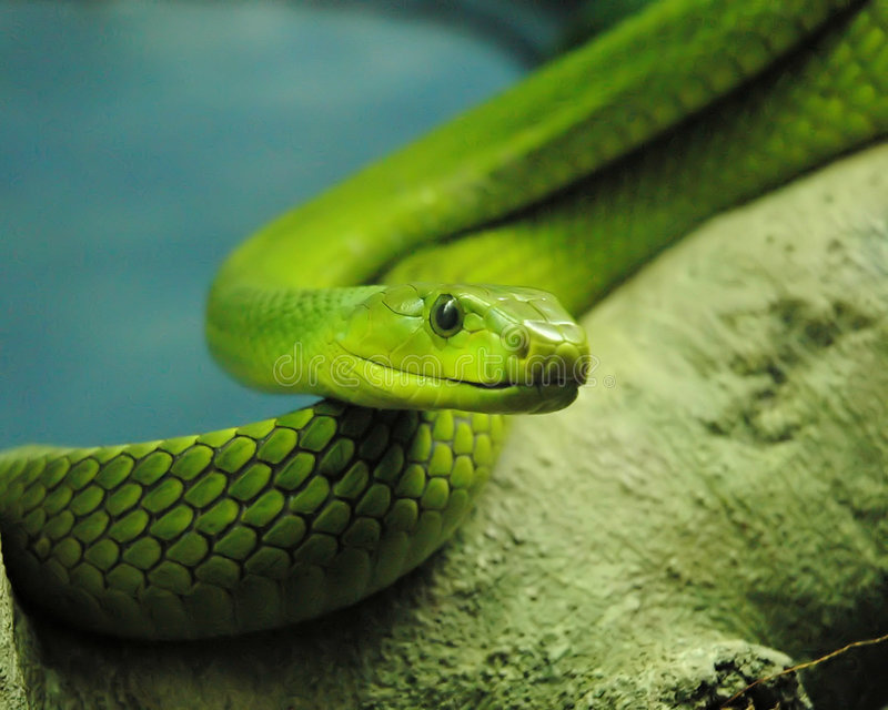 зеленая змейка стоковые фотографии rf