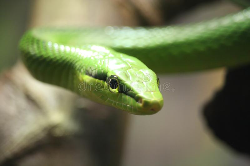 Зеленая змея смотрит прямо в глаза стоковое фото