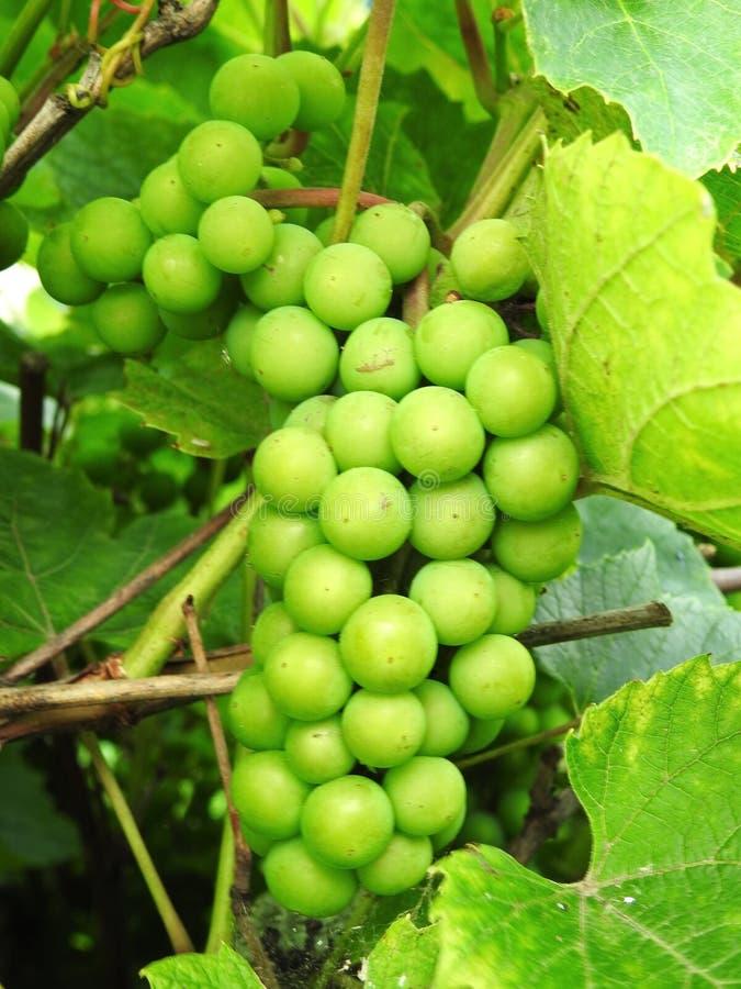 Зеленая зрелая виноградина летом, Литва стоковые фото