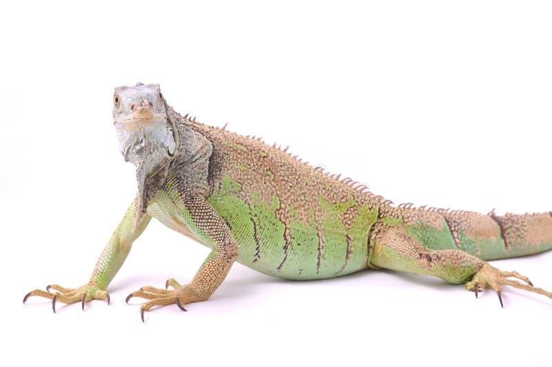 зеленая игуана одно стоковые изображения