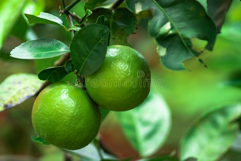 Зеленая известка или зеленое растущее тропического плодоовощ лимона вверх в доме сада, органическом плодоовощ для сока или салата стоковое изображение rf