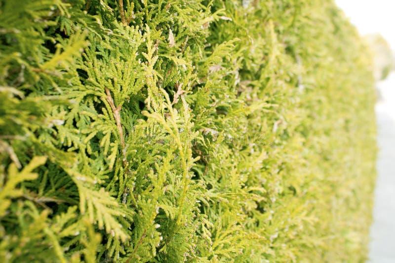 Зеленая изгородь валов Thuja Буш, текстура туи Листья сосны стоковые фотографии rf