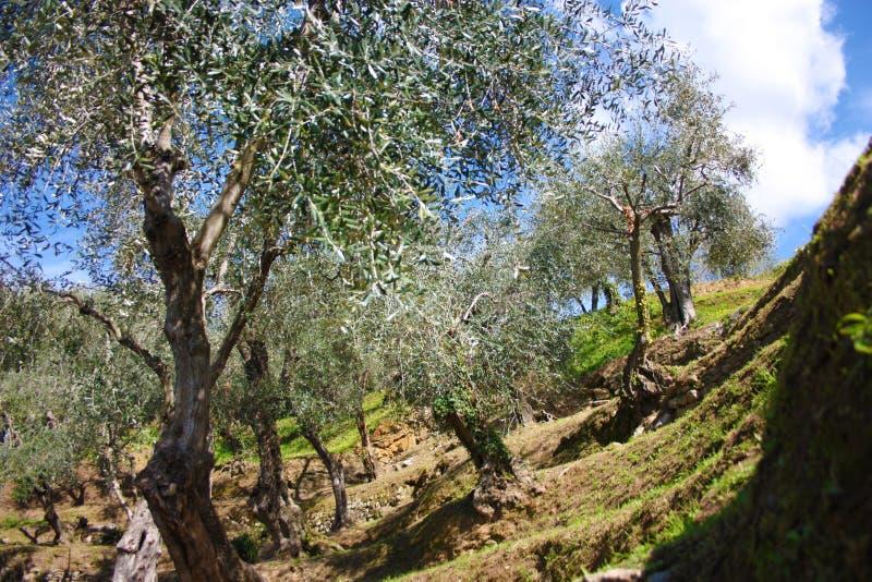 Зеленая и большая оливковая роща вполне оливковых дерев, заводов полных листьев и плодов Прибытие весны стоковые изображения