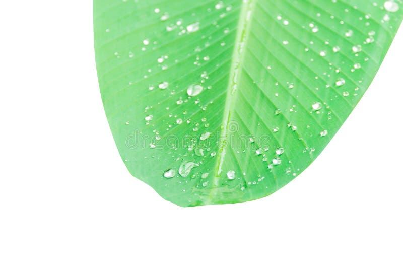 зеленая картина лист банана с падением воды текстуры в утре красивом для предпосылки изолированной на белых предпосылке и clippi стоковое фото rf