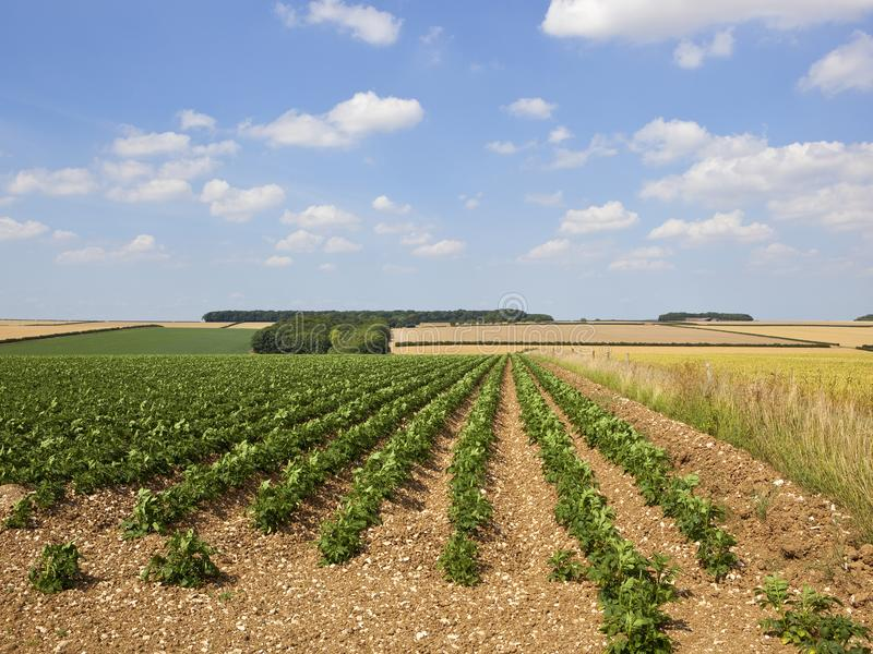 Зеленая картошка подрезывает в ландшафте лета заплатки стоковая фотография rf