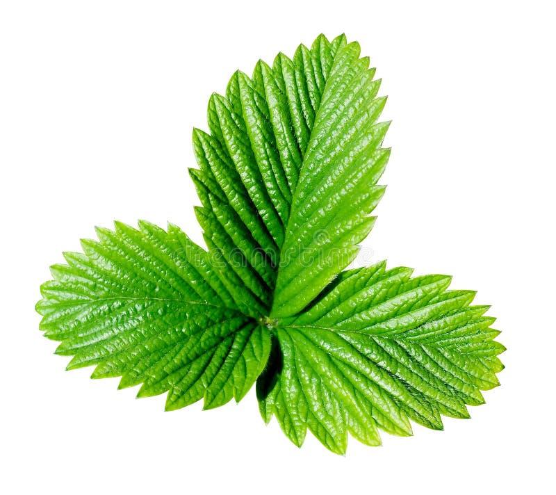 зеленая клубника листьев стоковое изображение rf