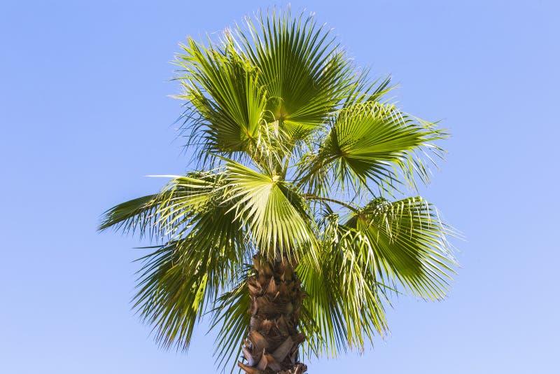Зеленая ладонь выходит на голубую ясную предпосылку неба Изолируйте листья финиковой пальмы для знамени, рекламы, визитной карточ стоковое изображение rf