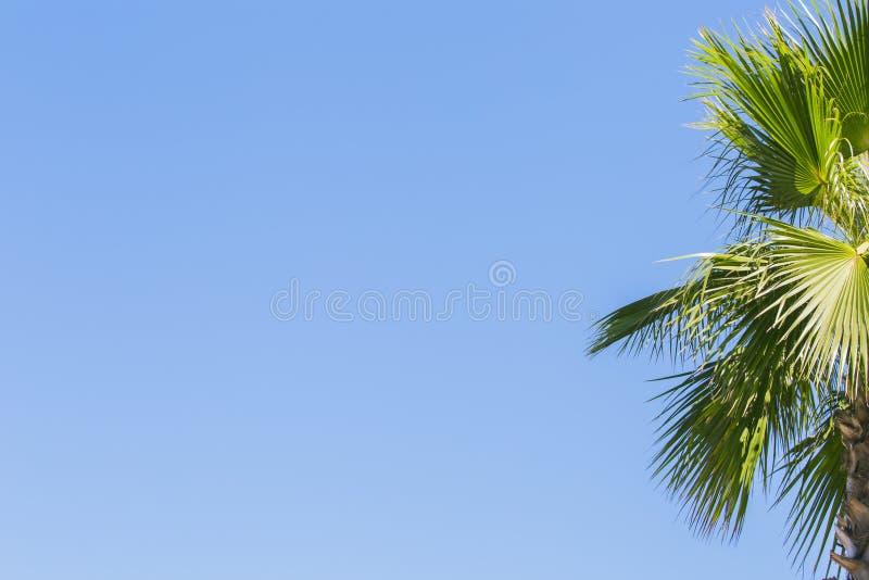 Зеленая ладонь выходит на голубую ясную предпосылку неба Изолируйте листья финиковой пальмы для знамени, рекламы, визитной карточ стоковая фотография rf