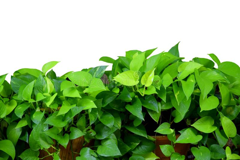 Зеленая листва плюща дьявола, золотого pothos, робы охотника, cv овсянки aureum Epipremnum Tricolor изолят на белой предпосылке стоковое фото
