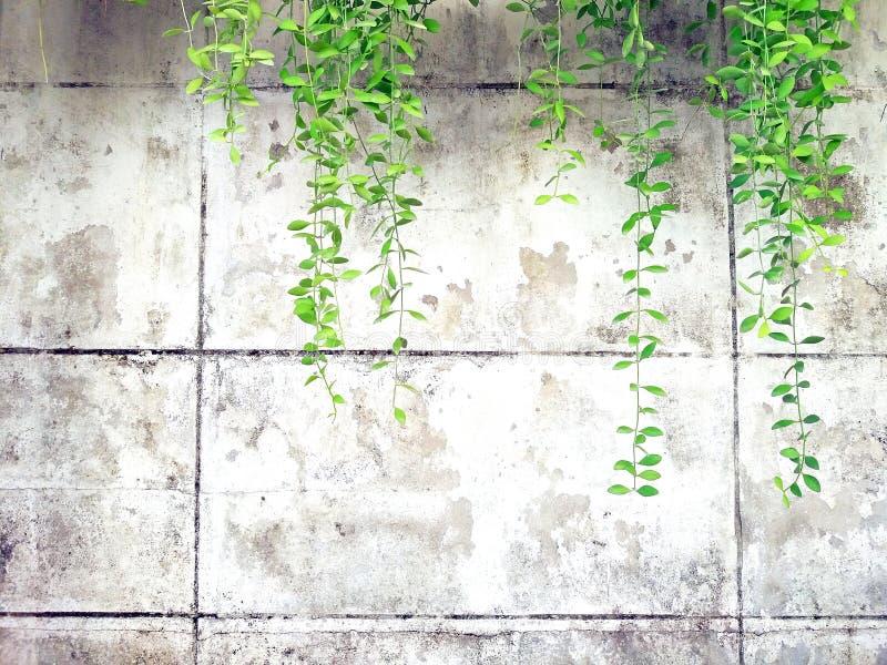 Зеленая лоза, лиана или завод проползать на старом белом цементе или предпосылка стены grunge абстрактная с космосом экземпляра стоковое изображение rf