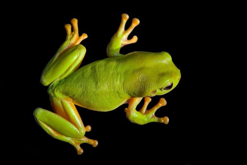 Зеленая лягушка дерева стоковая фотография rf