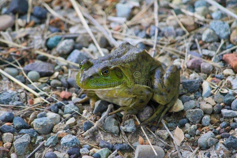 Зеленая лягушка на пути стоковое изображение