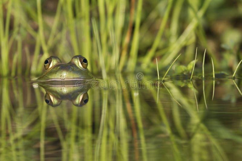 Зеленая лягушка отраженная в воде стоковое фото rf