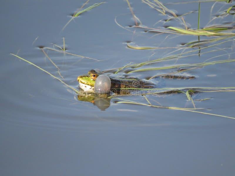 Зеленая лягушка частично погруженная в воду в воде, на предпосылке водорослей стоковая фотография