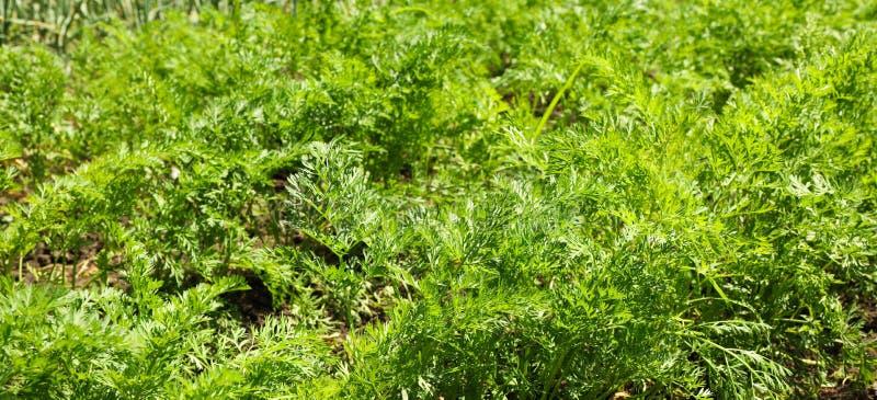 Зеленая морковь покрывает как предпосылка стоковые изображения rf