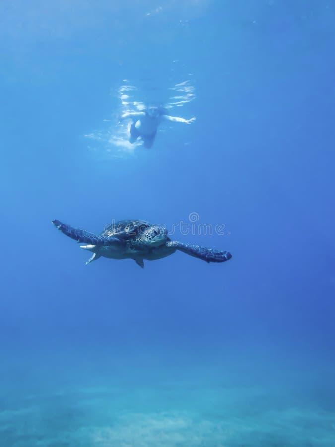 Зеленая морская черепаха плавая в ясном океане с snorkeler в расстоянии стоковые изображения
