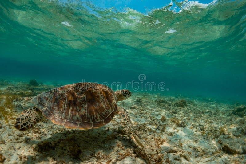 Зеленая морская черепаха стоковые фото