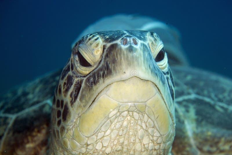 зеленая мыжская черепаха стоковые фото