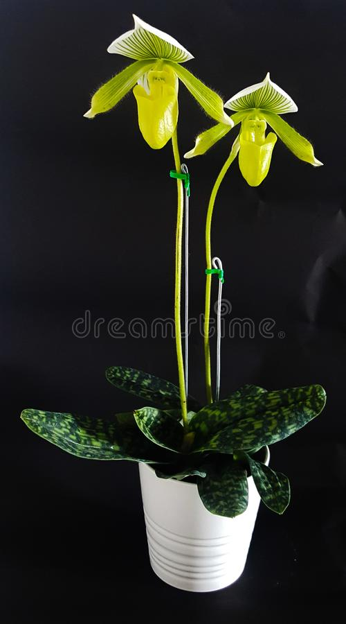 зеленая орхидея стоковое фото rf