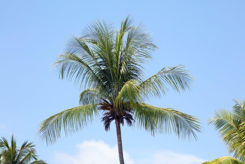 Зеленая пальма в Miami Beach с предпосылкой голубого неба стоковое изображение rf
