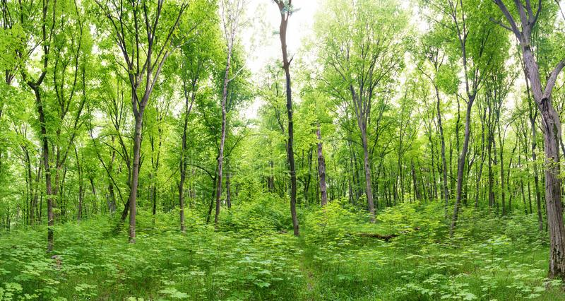Зеленая панорама ландшафта леса стоковые изображения