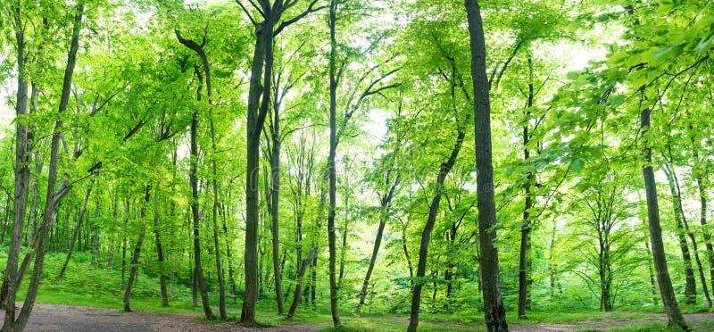 Зеленая панорама ландшафта леса стоковые фото
