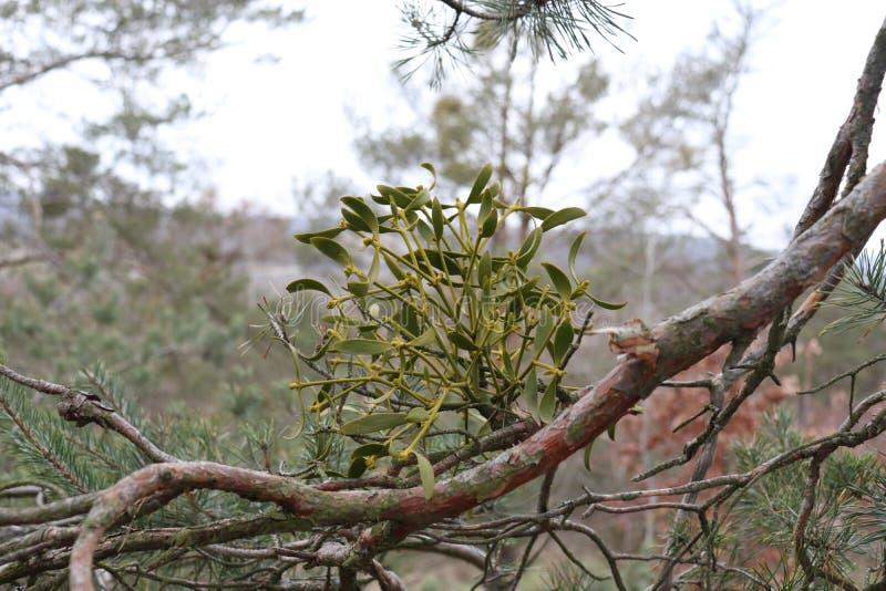 Зеленая паразитная европейская омела, конец альбома Viscum вверх на ветви дерева против предпосылки голубые облака field wispy не стоковые фотографии rf